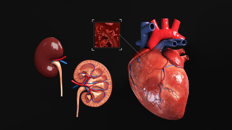 Schematic Medical Heart and Kidney Visualizations for Magazine Illustration